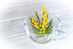 Flor da flor da mimosa no fundo branco Imagens de Stock Royalty Free