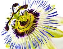 Flor da flor da paixão imagens de stock royalty free