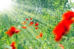 A flor da flor da papoila iluminou-se pelos raios do sol Fotos de Stock