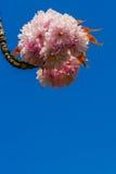 Flor da flor de cerejeira Fotografia de Stock