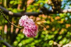 Flor da flor de cerejeira Foto de Stock