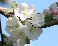 Flor da flor de cerejeira - foto conservada em estoque da mola Fotos de Stock