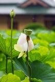 Flor da flor de lótus brancos no templo fotografia de stock royalty free