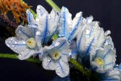 Flor da flor do açafrão na mola adiantada do por do sol Imagem de Stock Royalty Free