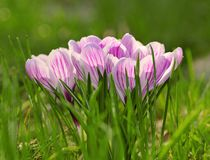 Flor da flor do açafrão no campo Imagem de Stock