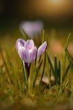 Flor da flor do açafrão no por do sol Imagens de Stock Royalty Free