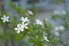 Flor da flor do antidysenterica de Wrigthia com folhas verdes Foto de Stock Royalty Free