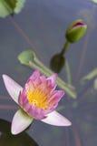 Flor da flor dos lótus Imagem de Stock Royalty Free