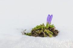 Flor da flor na neve de derretimento Imagem de Stock Royalty Free