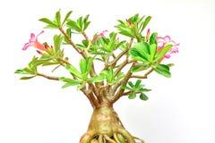 a flor da folha cor-de-rosa e verde do deserto do deserto aumentou com crescimento imagem de stock