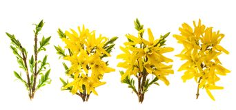 Flor da forsítia A mola floresce o fundo branco fotos de stock royalty free