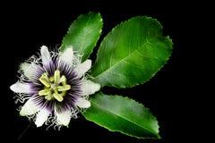 Flor da fruta de paixão imagens de stock royalty free