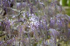 Flor da glicínia Fotografia de Stock Royalty Free