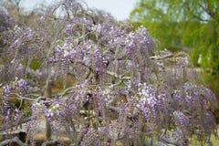 Flor da glicínia Foto de Stock