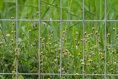 Flor da grama atrás da gaiola do fio Imagem de Stock