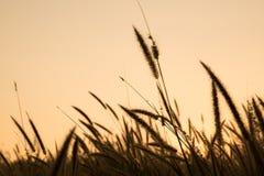 Flor da grama com fundo do por do sol Fotografia de Stock Royalty Free