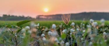Flor/flor da grama com luz do por do sol, Fotos de Stock Royalty Free