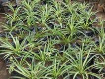 Flor da grama da aranha imagens de stock royalty free
