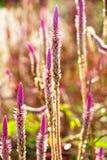 Flor da grama da erva daninha Foto de Stock