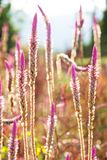 Flor da grama da erva daninha Imagem de Stock