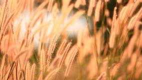 Flor da grama movida pelo vento do verão filme