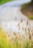 Flor da grama na borda da estrada Foto de Stock
