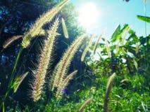 Flor da grama na manhã Fotos de Stock Royalty Free