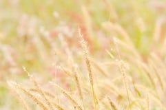 Flor da grama no campo Foto de Stock