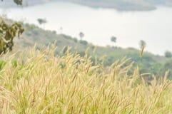 Flor da grama no campo Fotografia de Stock Royalty Free