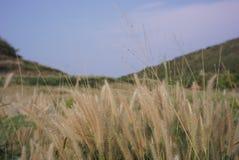 Flor da grama no verão foto de stock royalty free