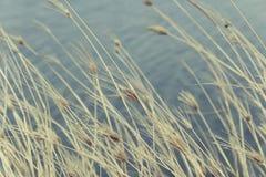 Flor da grama seca Fotos de Stock
