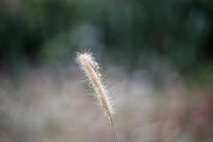 Flor da grama secada no vento fotos de stock