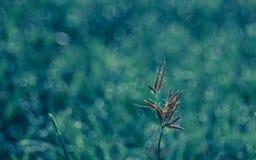 Flor da grama selvagem com bokeh no amanhecer Foto de Stock