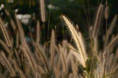 A flor da grama tocada pela luz solar está para fora de outro Imagem de Stock
