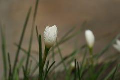 flor da grama verde do ornithogalum lilly Imagem de Stock