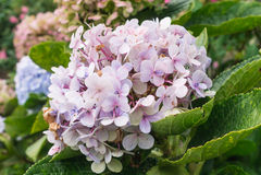Flor da hortênsia Fotos de Stock