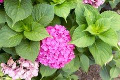 Flor da hortênsia Imagem de Stock Royalty Free