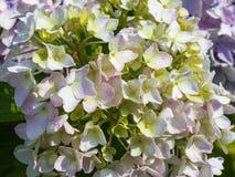 Flor da hortênsia Imagens de Stock