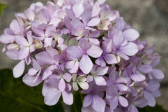 Flor da hortênsia Fotografia de Stock