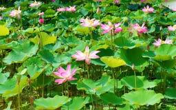 Flor da lagoa de lótus maravilhosa, Vietname Fotografia de Stock Royalty Free