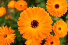 Flor da laranja da margarida Fotografia de Stock Royalty Free