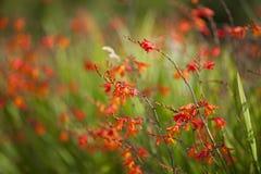 Flor da laranja de Montbretia Crocosmia fotografia de stock