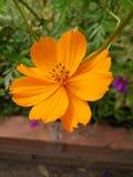 Flor da laranja do cosmos do enxofre Imagens de Stock