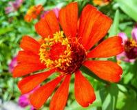 Flor da laranja do Zinnia imagem de stock royalty free