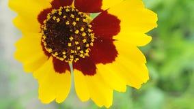 Flor da luz do sol Foto de Stock Royalty Free