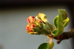 Flor da maçã Imagem de Stock Royalty Free