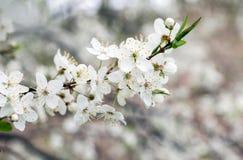 Flor da maçã, da ameixa ou da cereja na mola ensolarada foto de stock