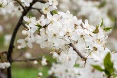 Flor da maçã, da ameixa ou da cereja na mola ensolarada imagens de stock royalty free