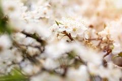 Flor da maçã, da ameixa ou da cereja na mola ensolarada imagem de stock royalty free