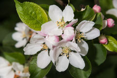 Flor da maçã de caranguejo Fotografia de Stock